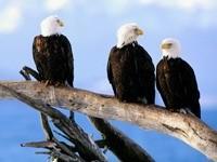 Трое орланов белоголовых на дереве