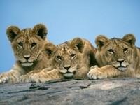 Трое маленьких львят