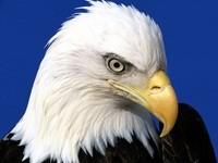 Голова орлана белоголового