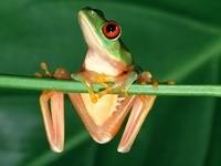 Лягушка на зеленом стебле