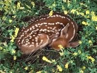 Спящий оленёнок