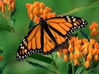 Оранжевая бабочка на цветах