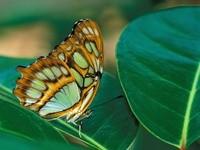Бабочка на фикусе