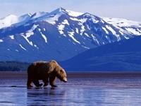 Медведь идет по воде