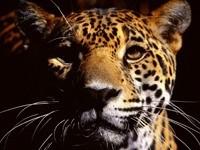 Морда ягуара в сумерках