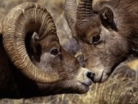 Два козла