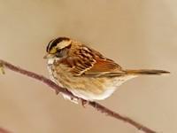 Птичка коричневого окраса на ветке
