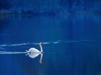 Одинокий лебедь  на озере