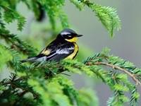 Черно-желтая птица на ели