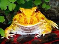 Желтая жаба