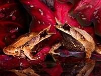Две коричневые жабы