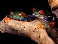 Две зеленые жабы с красными глазами