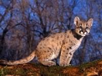 Котёнок пумы