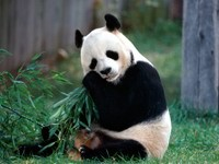 Мишка панда ест бамбук
