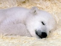 Сон белого медвежонка
