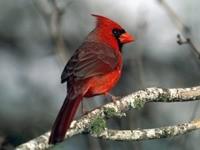 Красная птичка на ветке