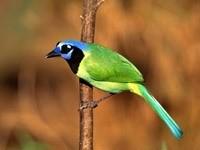 Зелёно -синяя птица на ветке
