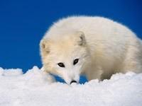 Белый волк на снегу