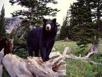 Черный медведь в лесу