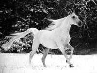 Белый конь в зимнем лесу