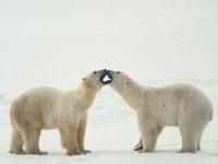Два белых медведя