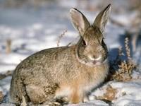 Серый заяц в зимнем лесу