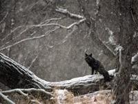 Черная лиса в снежном лесу
