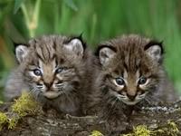 Малыши рыси