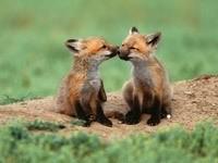 Два маленьких лисёнка