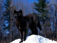Черный волк в зимнем лесу