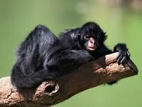 Черная обезьяна на стволе