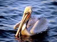 Белый пеликан в воде