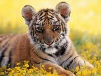 Один тигренок