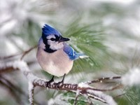 Птичка сине-белого окраса