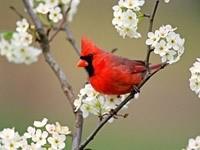Красная птичка на ветке вишни