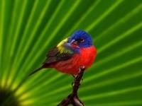 Красно-синяя птица