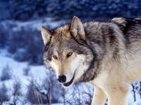 Волк в лесостепи