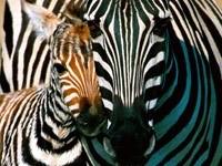 Зебра с малышом