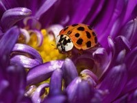 Божья коровка в фиолетовом цветке