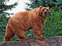 Коричневый медведь в лесу