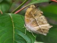Серый мотылек на листке
