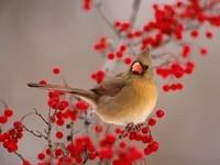 Серая птичка на рябине