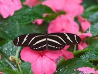 Черно-белая бабочка на цветах