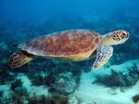Черепаха на дне моря