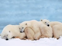 Сон трех белых медведей