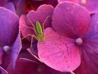 Зелёный паук на розовом цветке
