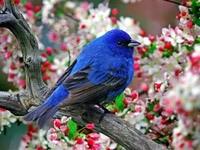 Сине-черная птичка на цветущем дереве