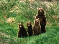 Медведица и трое медвежат в траве