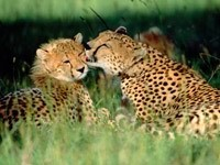 Нежность гепарда
