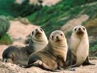 Три морских котика